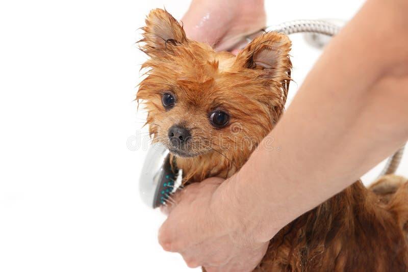 Um cão pomeranian que toma um chuveiro com sabão e água Cão no fundo branco Cão no banho imagens de stock royalty free