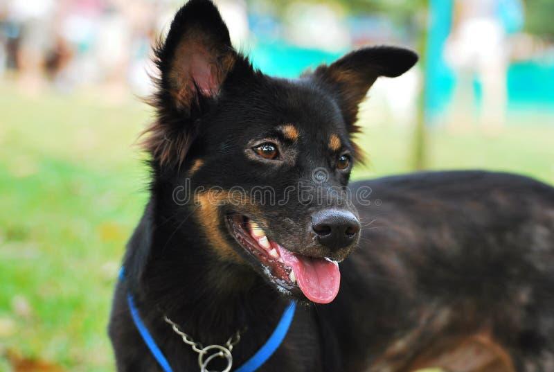 Um cão preto de tamanho médio fotos de stock royalty free