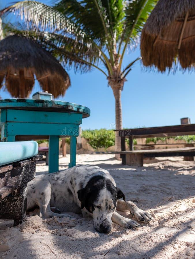Um cão preto e branco dorme na areia fotos de stock
