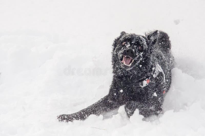 Um cão preto na neve engraçada imagens de stock