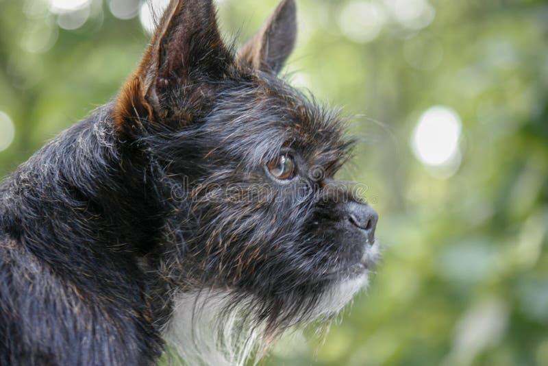 Um cão preto pequeno olha fora da janela com os olhos inteligentes e interessados Man' melhor amigo de s Fundo verde borrado imagens de stock royalty free