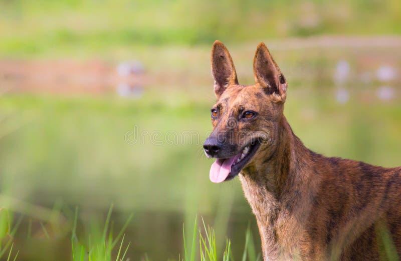 Um cão que está e que olha muito curiosamente no parque com um fundo verde macio agradável fotos de stock