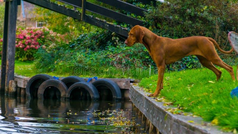 Um cão que olha a água nos canais de água de Giethoorn nos Países Baixos fotos de stock