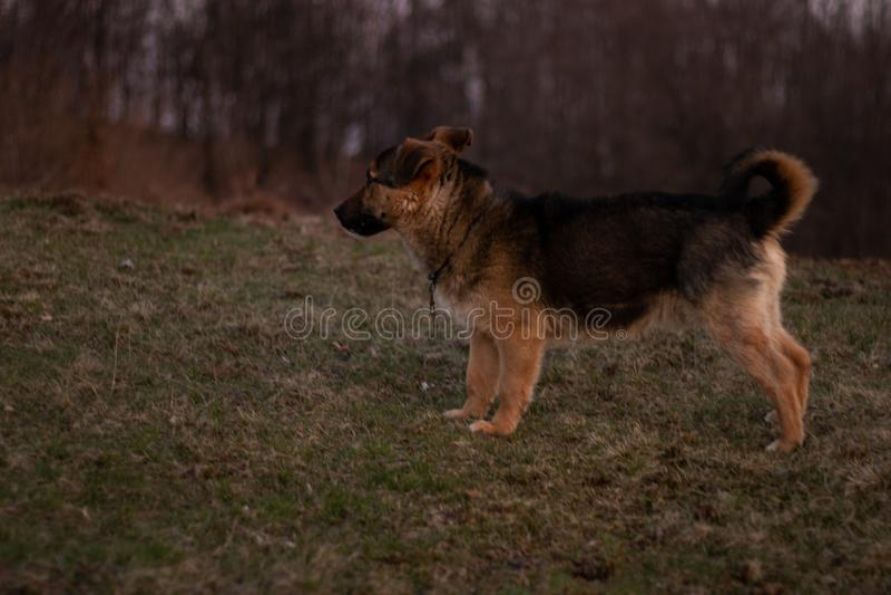 Um cão que paga a atenção foto de stock royalty free