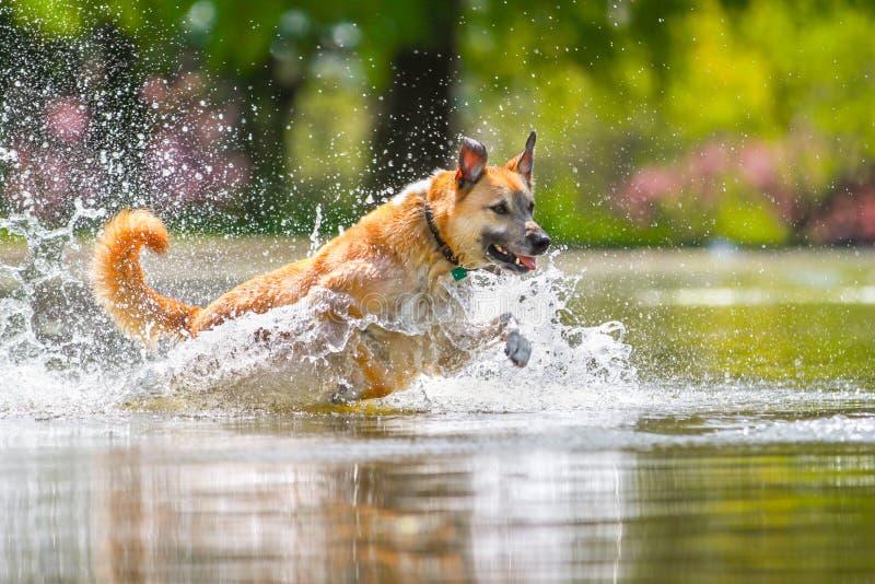 Um cão que salta em um lago imagens de stock royalty free
