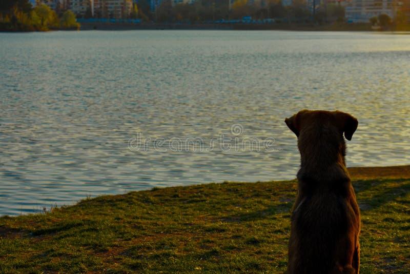 Um cão que senta-se na grama verde que aprecia o por do sol fotografia de stock