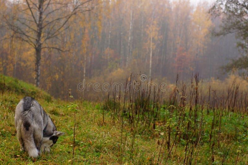 Um cão ronco cinzento-branco da raça está com sua parte traseira e aspira a terra em um campo perto de uma floresta no outono imagens de stock
