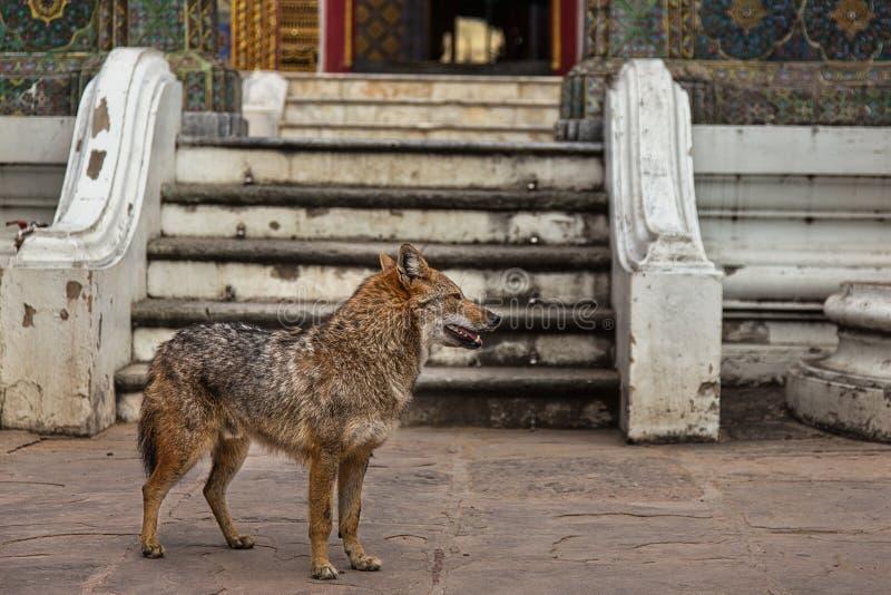 Um cão selvagem em um templo tailandês imagem de stock royalty free