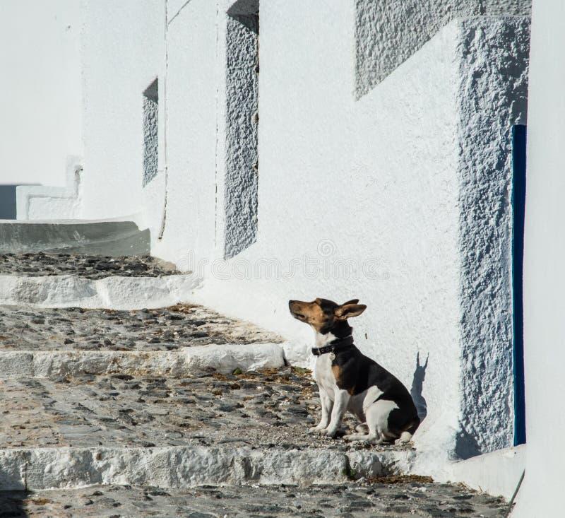 Um cão solitário em um passeio na ilha de Santorini em Grécia foto de stock