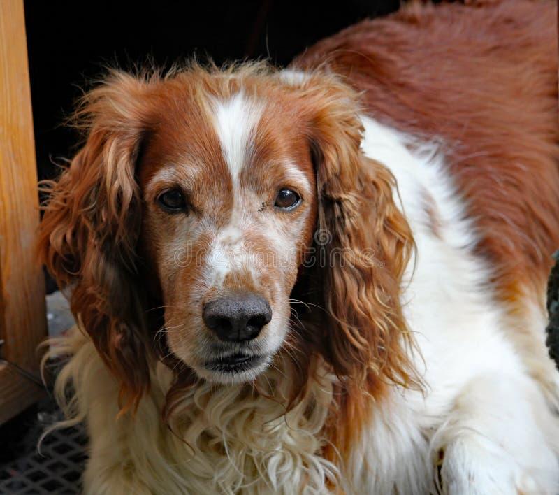 Um cão velho eyed triste do marrom e o branco olha o mundo ir perto foto de stock royalty free