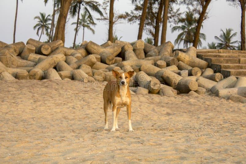 Um cão vermelho em um Sandy Beach no fundo das palmeiras e uma barreira do tsunami na noite foto de stock