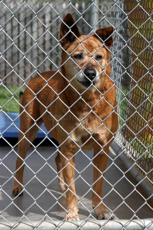 Um cão vermelho em sua gaiola no abrigo animal fotografia de stock