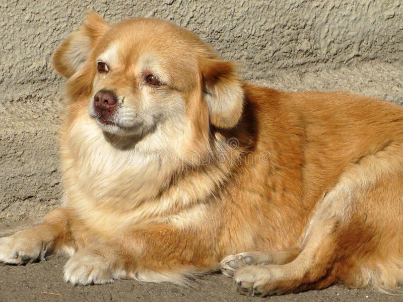 Um cão vermelho encontra-se na luz do sol foto de stock royalty free