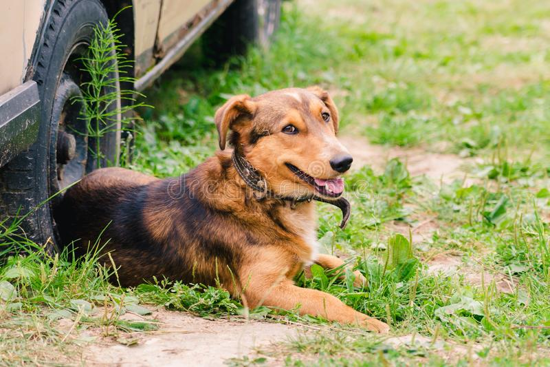 Um cão vermelho-marrom em um colar encontra-se na grama perto da roda de um carro velho imagem de stock