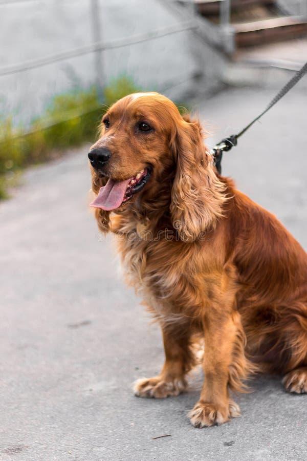 Um cão vermelho na rua senta-se no perfil, um focinho sério do cão, focalizou-o é um cão de guarda foto de stock royalty free
