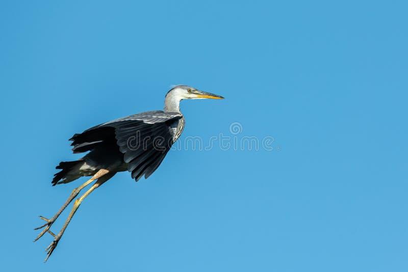 Um céu azul do voo engraçado de Grey Heron fotografia de stock