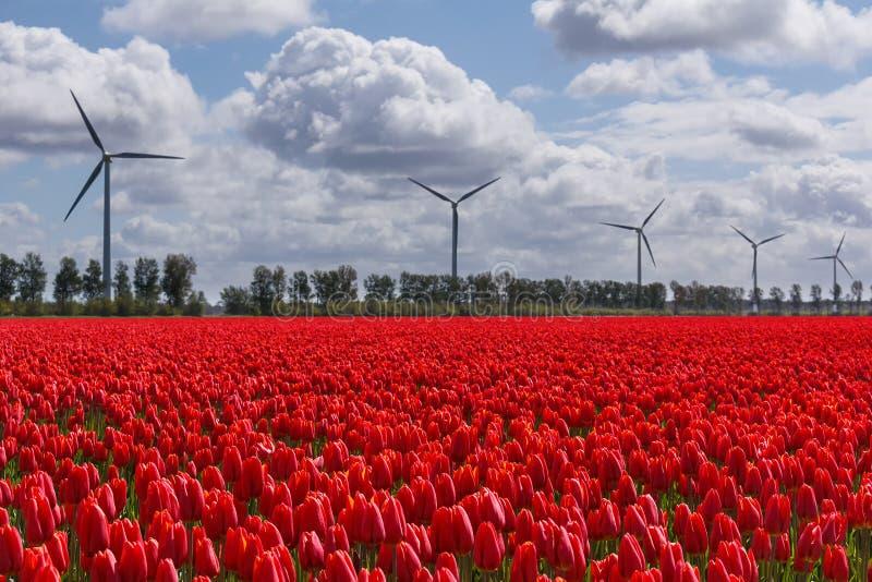 Um céu holandês típico sobre tulipas e turbinas eólicas vermelhas imagem de stock royalty free