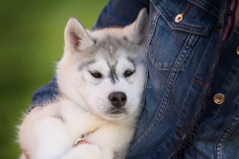 Um cachorrinho bonito pequeno do cão de puxar trenós Siberian foto de stock