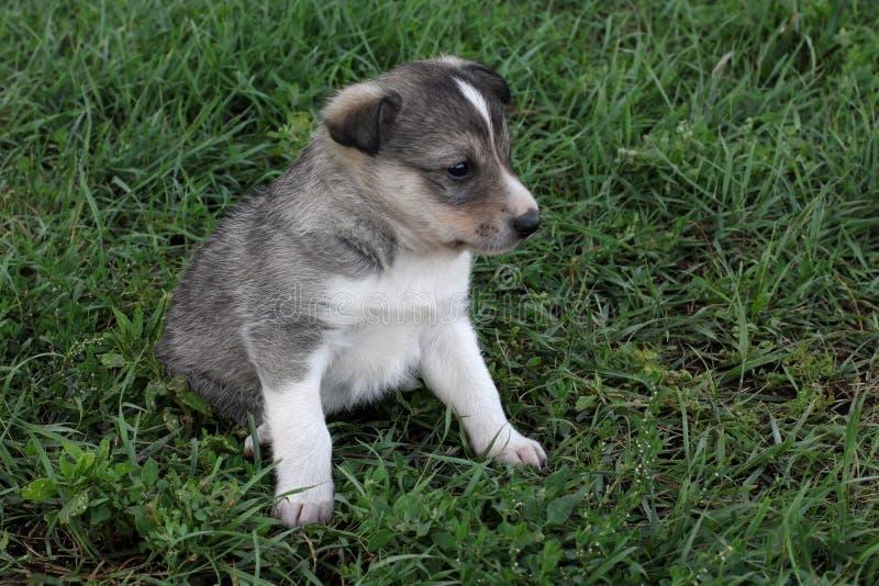 Um cachorrinho bonito pequeno do cão de puxar trenós Siberian na grama imagem de stock royalty free