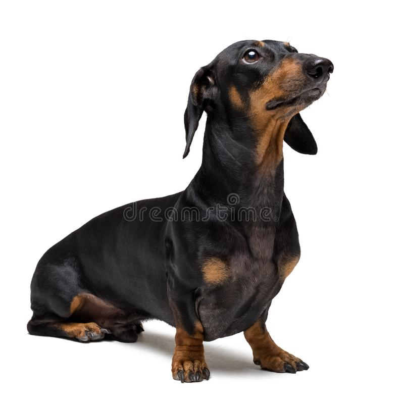 Um cachorrinho do cão da raça masculina do bassê, preto e bronzeado no isolado no fundo branco fotografia de stock