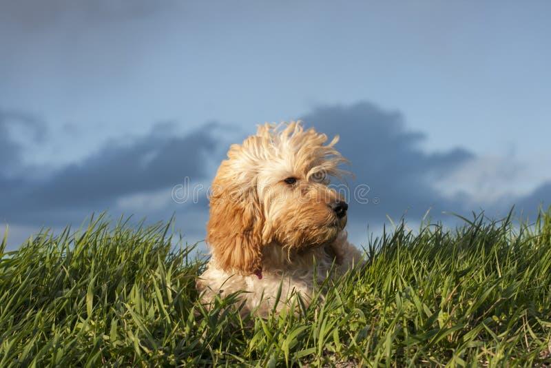 Um cachorrinho muito pensativo imagens de stock