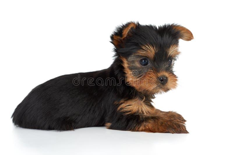 Um cachorrinho no branco imagens de stock royalty free