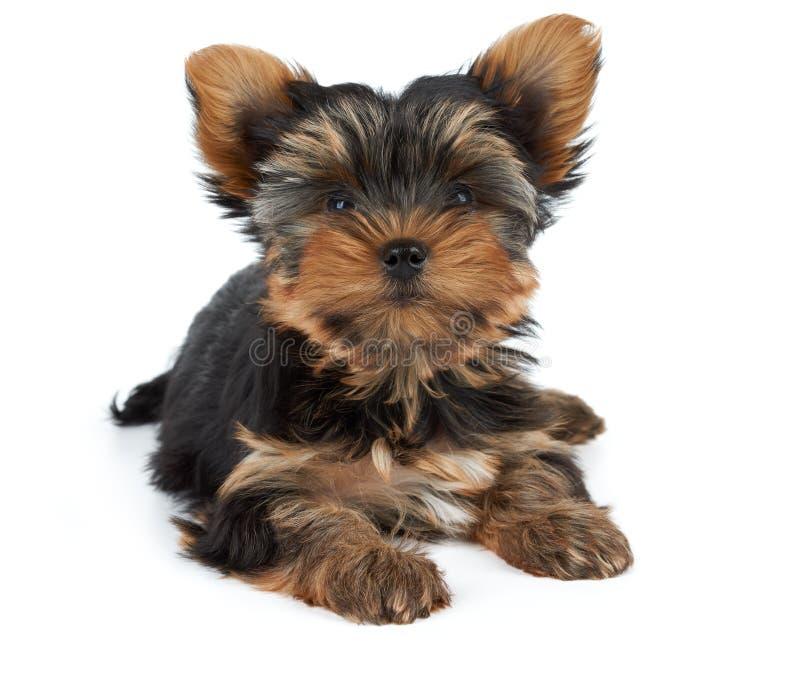 Um cachorrinho no branco imagem de stock