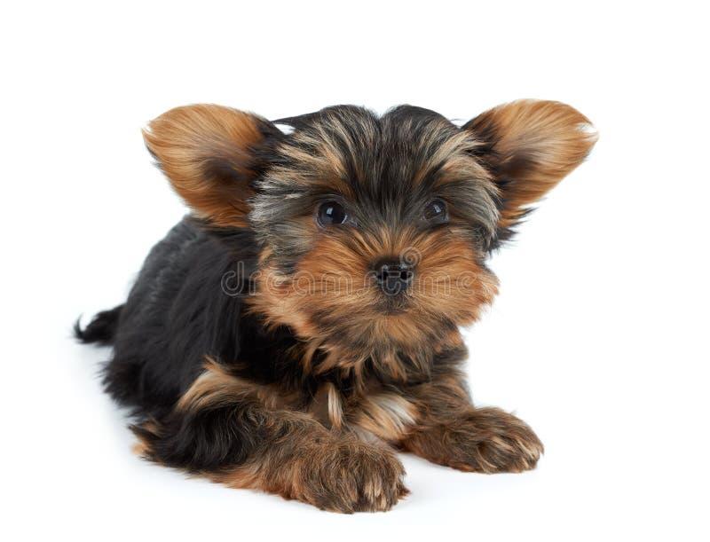 Um cachorrinho no branco imagens de stock
