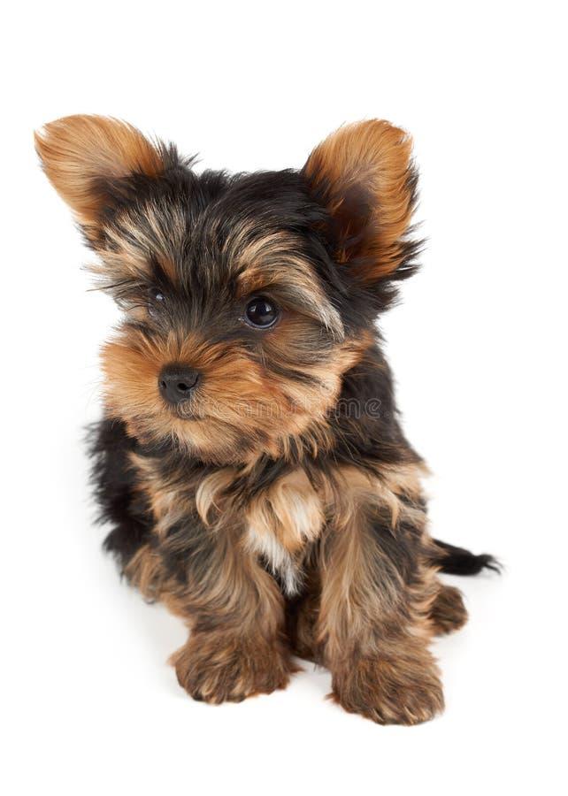 Um cachorrinho no branco imagem de stock royalty free