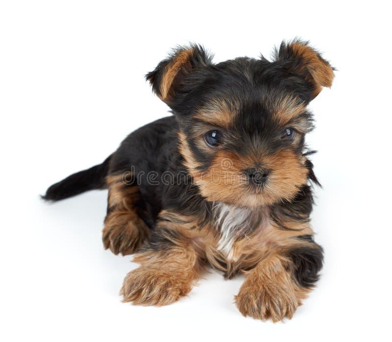 Um cachorrinho no branco fotografia de stock