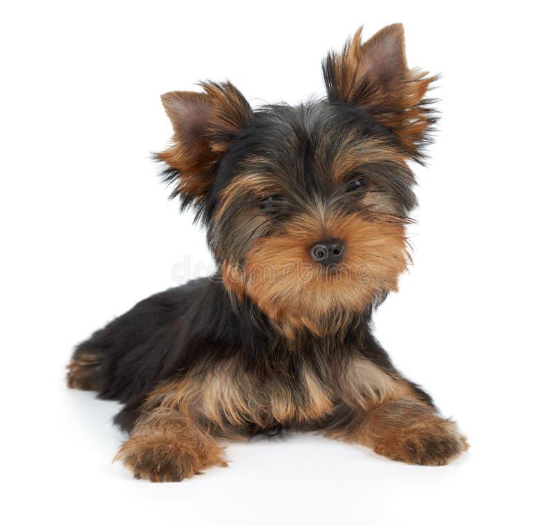 Um cachorrinho no branco foto de stock