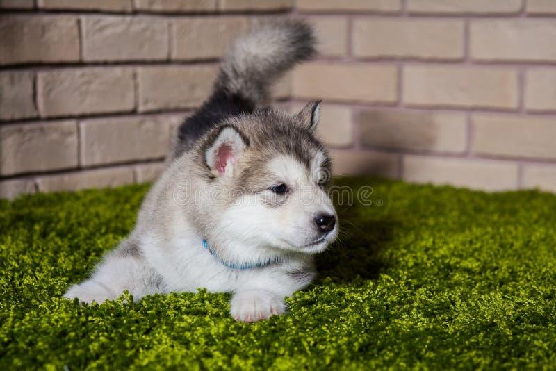 Um cachorrinho pequeno do malamute com cauda sacudida que aspira o ar fotos de stock royalty free