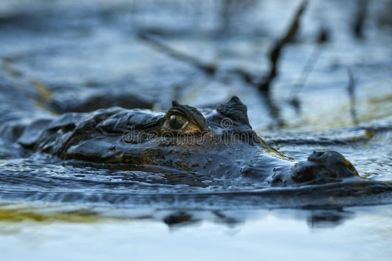 Um caimão desliza silenciosamente no rio imagem de stock