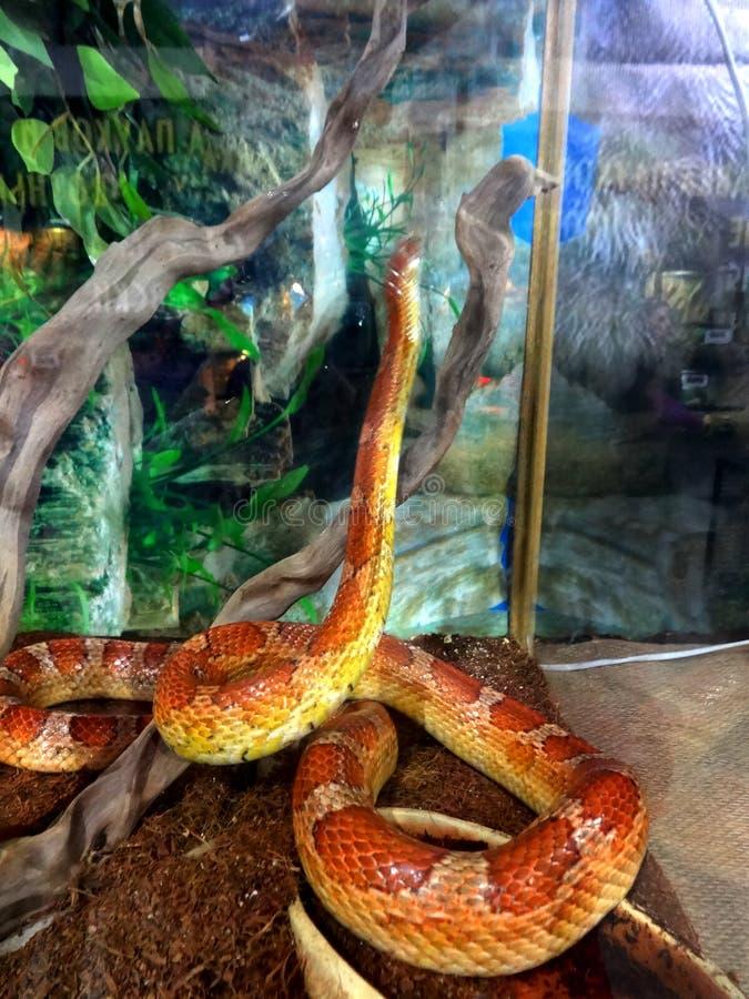 um caixão pequeno da serpente em um terrarium imagem de stock royalty free