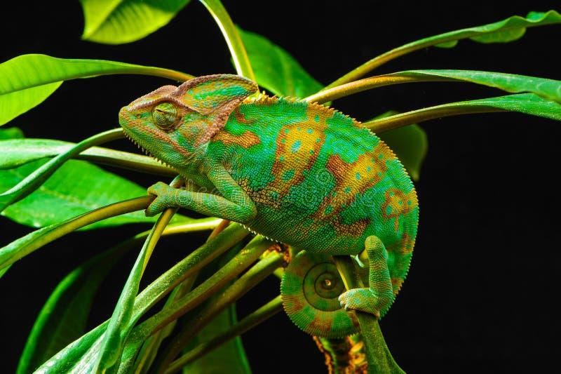 um camaleão de iémen imagem de stock imagem de formulário