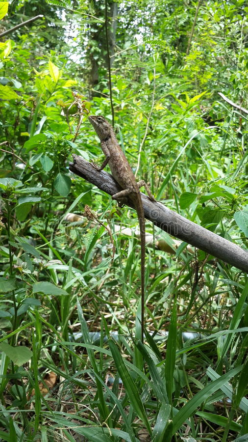 Um camaleão no bambu imagem de stock royalty free