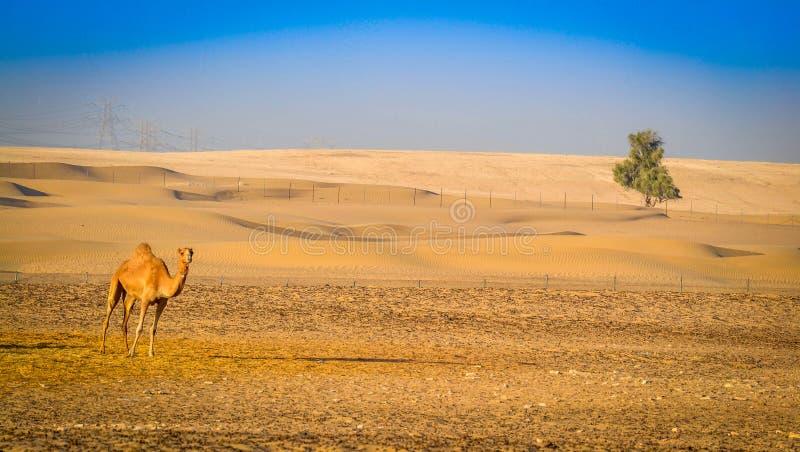 Um camelo e uma árvore no deserto fotos de stock royalty free