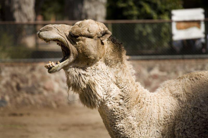 Um camelo fresco fotografia de stock
