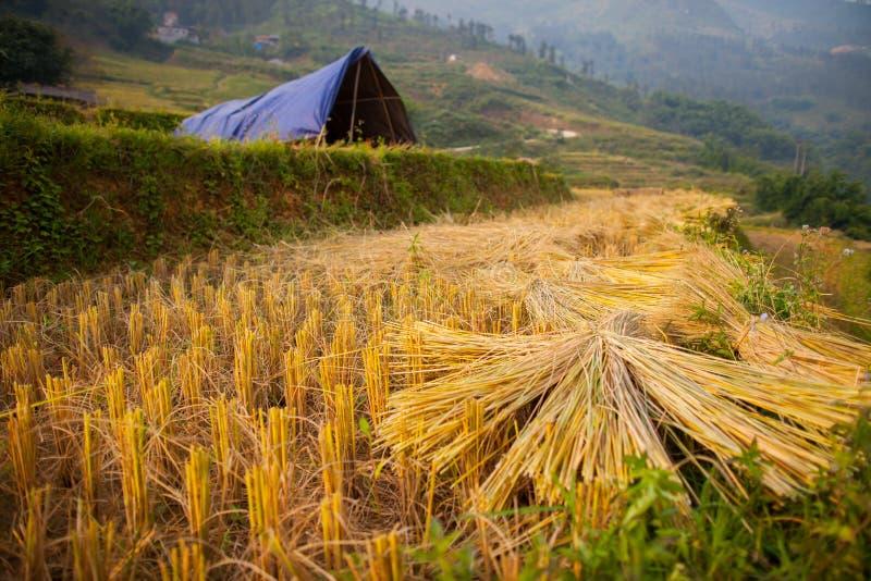 Um campo amarelo da etapa do terraço do arroz no monte imagem de stock