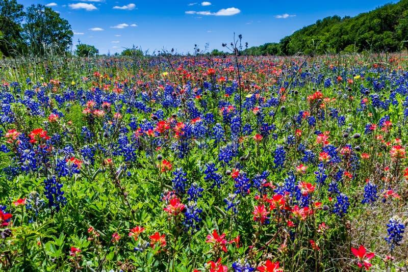 Um campo bonito coberto com Texas Bluebonnet azul brilhante famoso e o pincel indiano alaranjado brilhante fotografia de stock