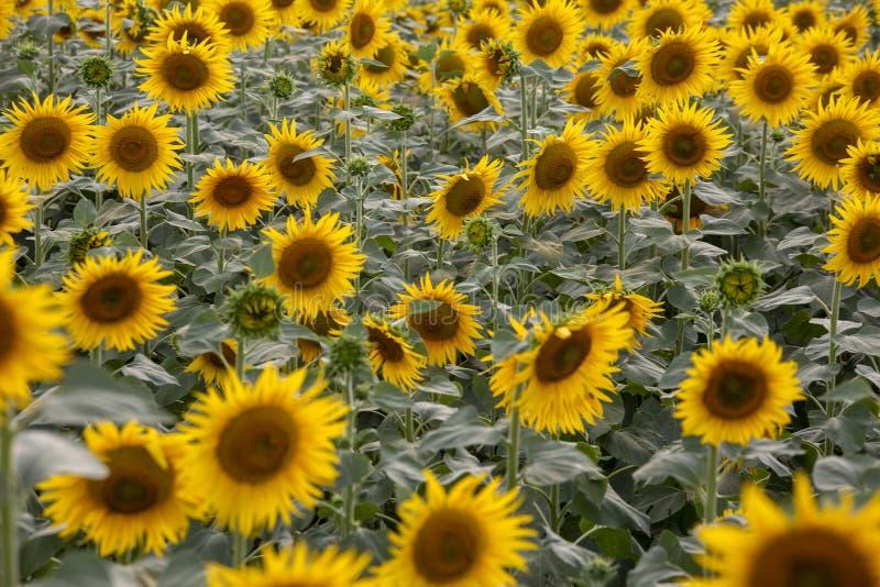 Um campo bonito do girassol Foto do conceito da agricultura imagem de stock