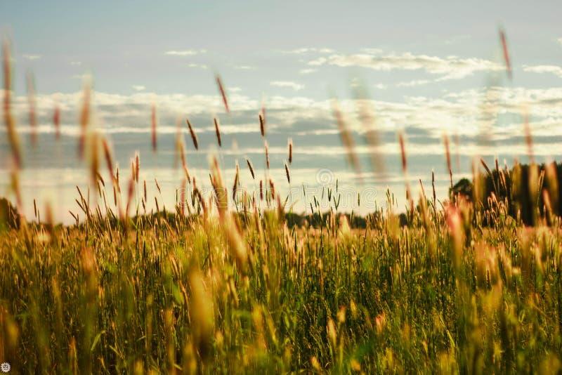Um campo com as orelhas do trigo que balança no vento no por do sol imagens de stock royalty free