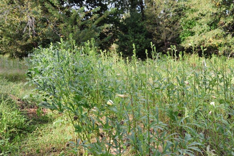Um campo completamente do quiabo vegetal fotos de stock royalty free
