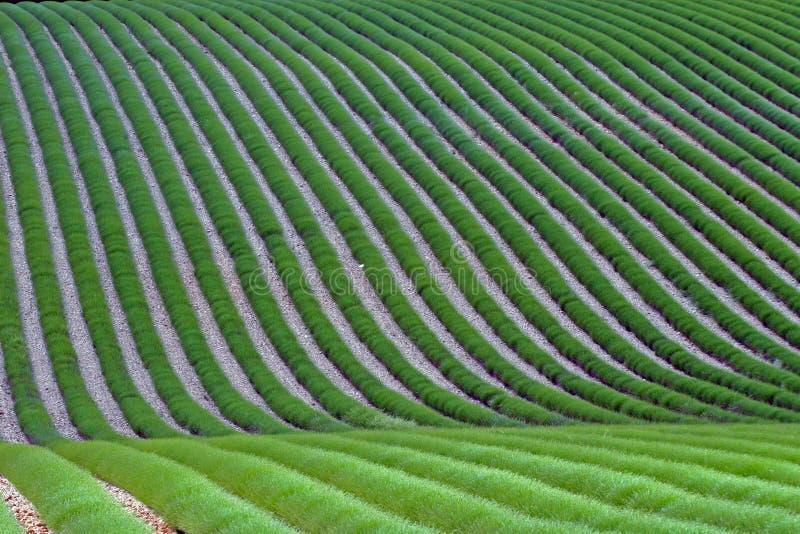 Um campo da alfazema verde imagem de stock