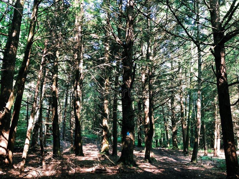 Um campo da madeira das árvores de larício fotografia de stock royalty free
