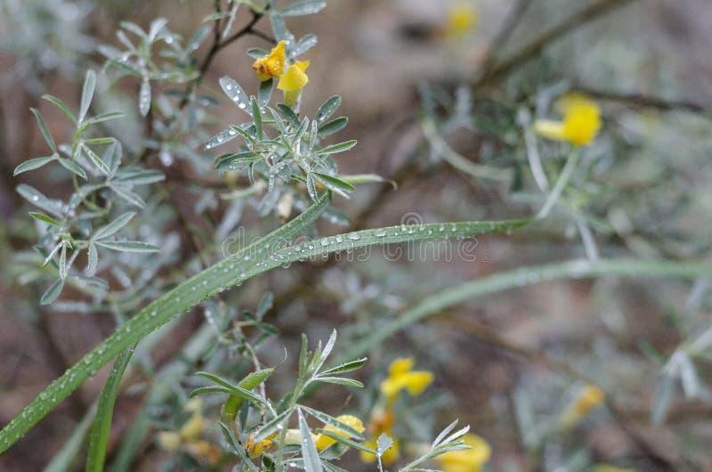 Um campo da metade de uma chuva do verão das flores selvagens Myrtales amarelo das flores em hastes verdes asymmetry raindrops imagens de stock royalty free