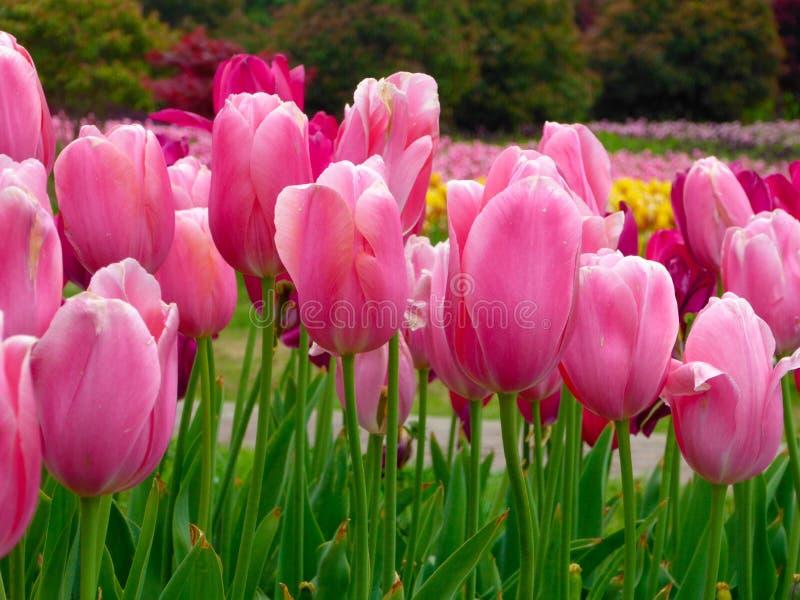Um campo das tulipas amarelas que florescem na mola adiantada fotos de stock
