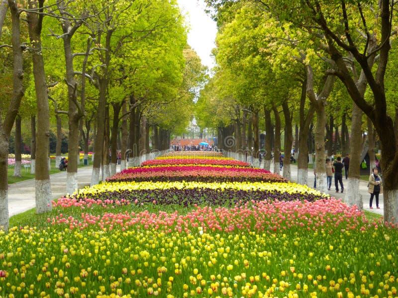 Um campo das tulipas coloridas que florescem entre árvores de cânfora na mola adiantada fotografia de stock royalty free
