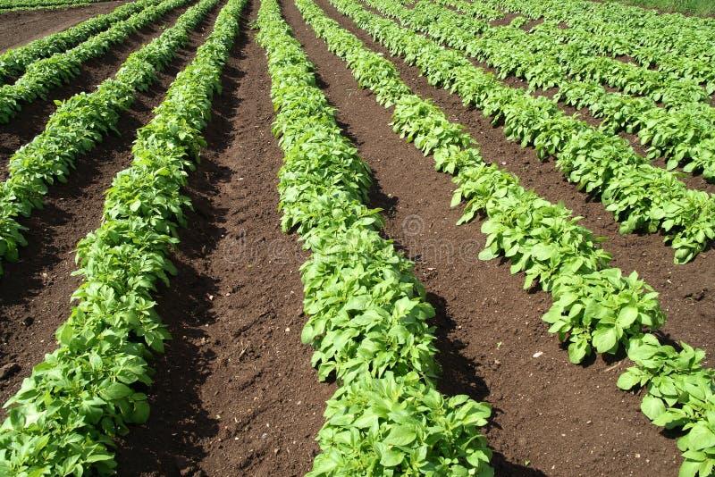 Um campo de colheitas verdes. imagem de stock royalty free