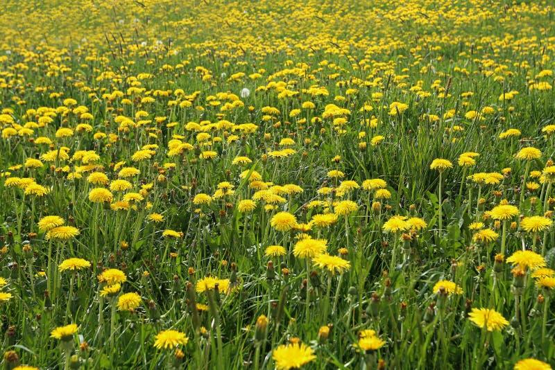 Um campo de dentes-de-leão amarelos na primavera imagens de stock royalty free